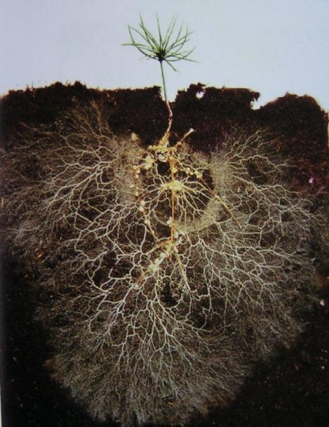 david-read-photo-for-mycorrhizae-and-tiny-pine-tree-roots